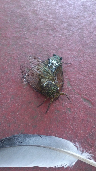 cicadas having sex
