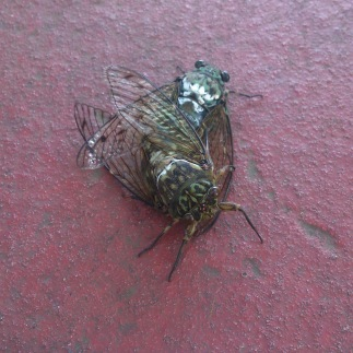 cicadas having sex
